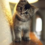 共働きでも子猫をマンションで飼える?Q&Aでズバリ解決!