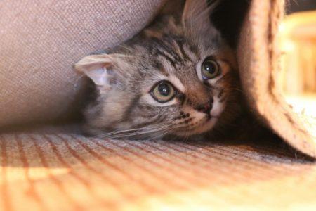 叱られて隠れる猫