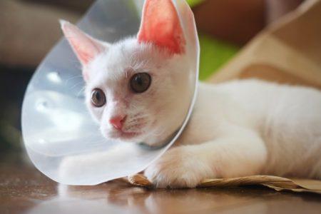 エリザベスカラーをする猫