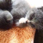猫の嘔吐の原因は食物アレルギーにあった!3つの対処法とは?