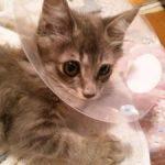猫が去勢・避妊手術後に嘔吐や下痢をするのはなぜ?どうしたらいい?
