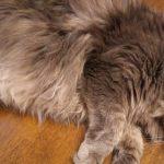 猫の身体をブラッシングしたら白い粉が!?フケがでる5つの原因とは?